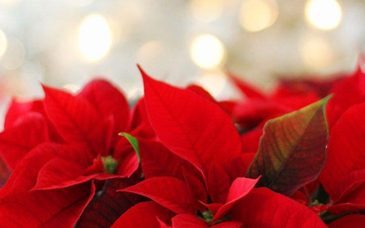 冬の代表的な花「ポインセチア」
