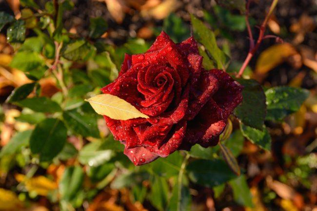 秋が旬の花色が美しいバラ